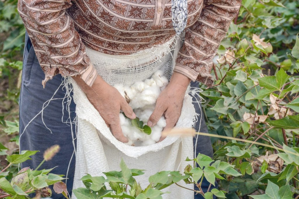 Lady picking organic cotton